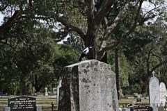 Magpie-on-the-grave